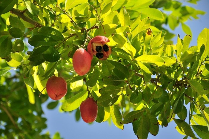 Ripe Ackee fruit hanging on a tree. By Loren Sztajer (Flickr)