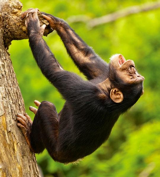 Chimp (via Chimp Eden Facebook)
