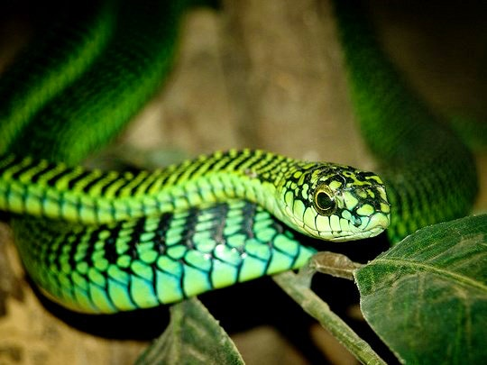 Boomslang by wwarby (Flickr)