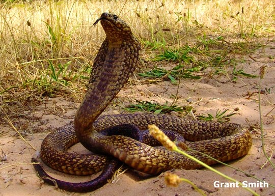 Cape Cobra by Grant Smith (Cape Snake Conservation)
