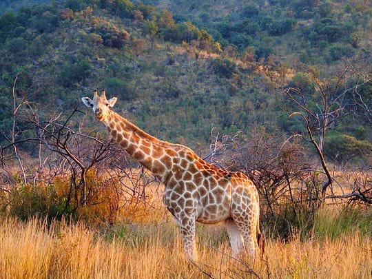 Pilanesberg Reserve (Wikipedia)