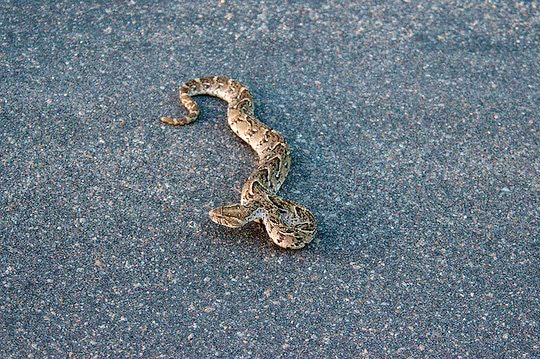 Puff Adder by Mister E (Flickr)