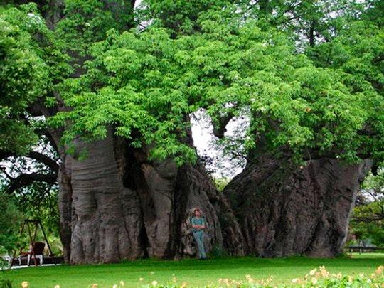 The Big Baobab (Website)