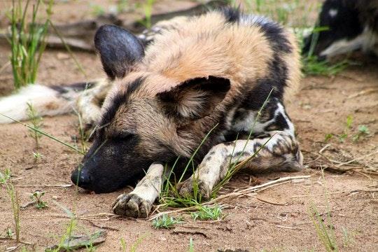 Madikwe-African-wild-dog-by-flowcomm(flickr)