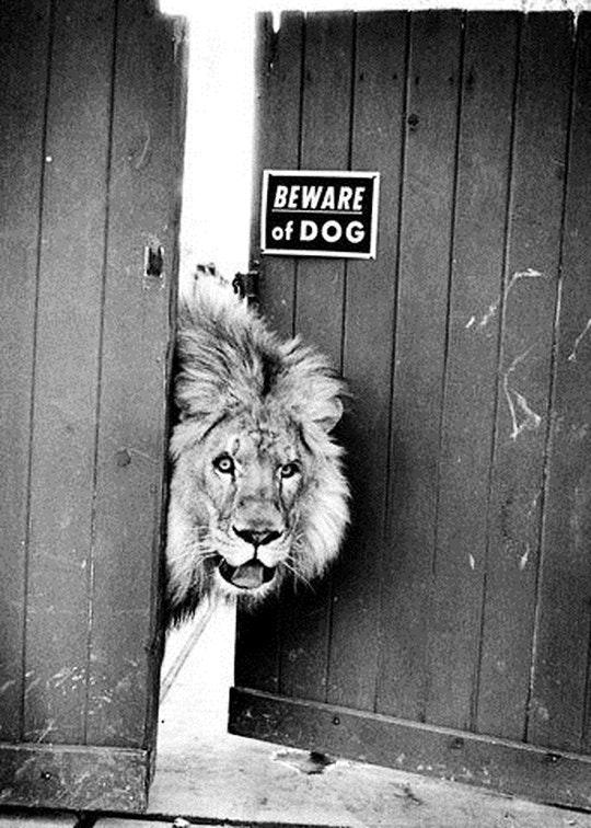 lion-beware the dog