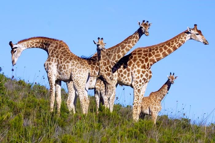 Giraffe herd at Botlierskop Private Nature Reserve (C) TravelGround