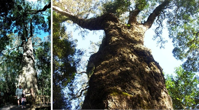 Woodville-Big-Tree-by-Desiree-Haakonsen