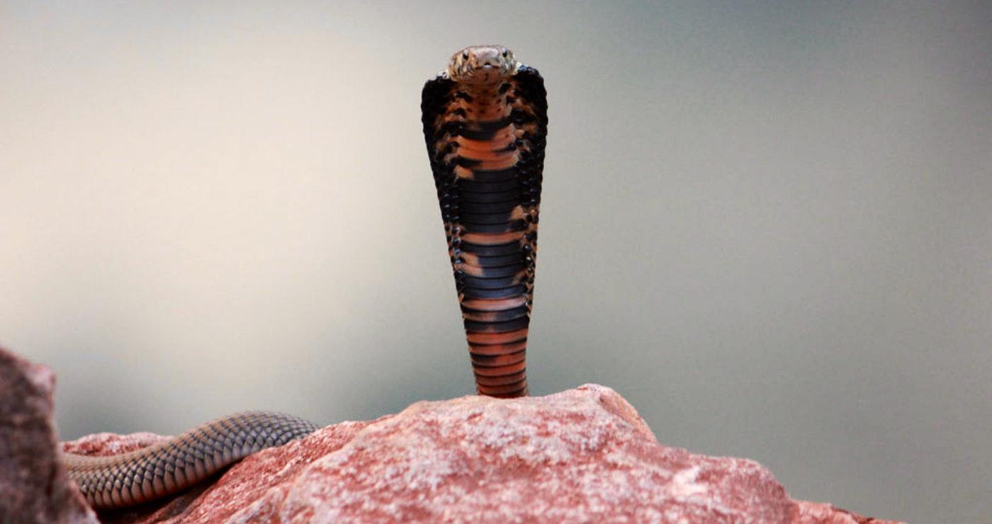 Mozambique spitting cobra