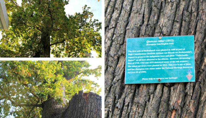 Oak Trees in Stellenbosch by Roseanna McBain (C) TravelGround